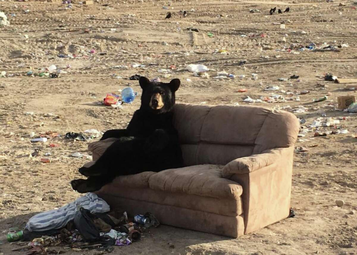 This black bear was spotted relaxing on a couch at a dump in Manitoba, Canada.