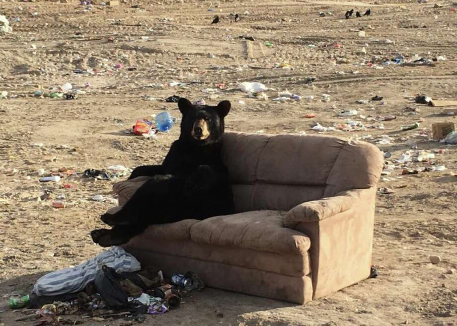 This black bear was spotted relaxing on a couch at a dump in Manitoba, Canada. Photo: Mandy Stantic