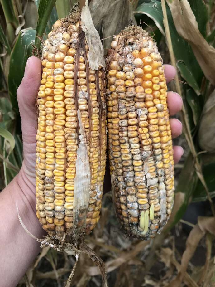 Ears of corn possibly contaminated with fumonisins, toxins produced by two species of Fusarium fungi.