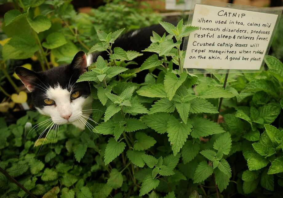 A feline camps out in a bed of catnip.