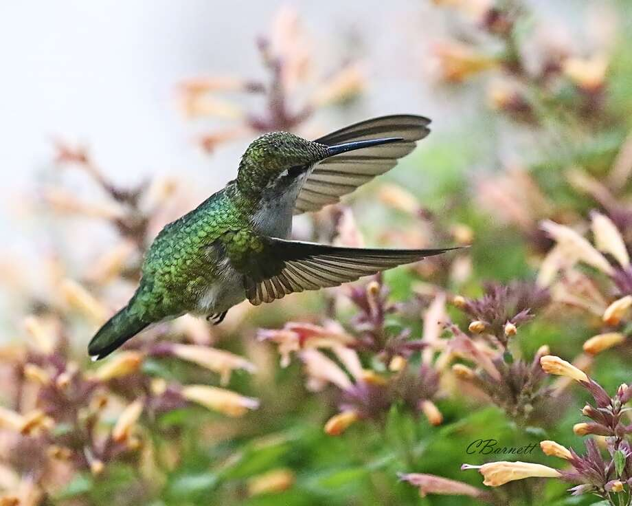 This humming bird has become a regular visitor to the Connie Barnett residence in southwestern Briscoe County, stopping off each day to hunt for nectar from blooming plants around the Barnett home. The shutter on Barnett's camera captured the humming bird in flight in this photo taken Sept. 30.