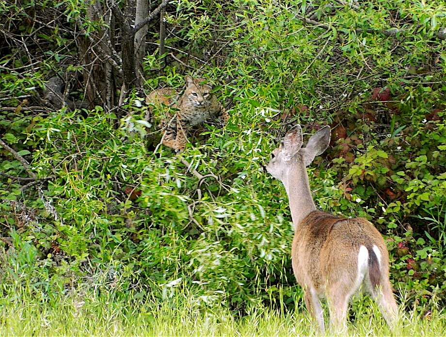 A bobcat, hidden in a thicket and eyeing prey, is spotted by a doe, a black-tailed deer Photo: Tom Stienstra, Ben Dunn / Special To The Chronicle