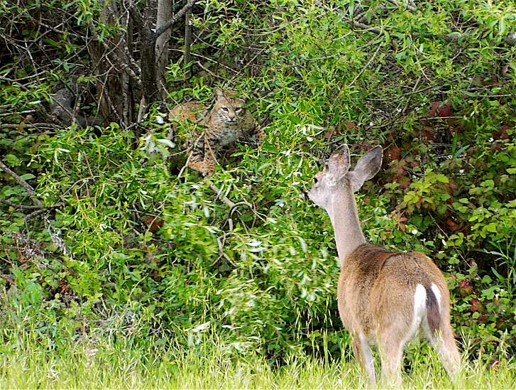 A bobcat, hidden in a thicket and eyeing prey, is spotted by a doe, a black-tailed deer