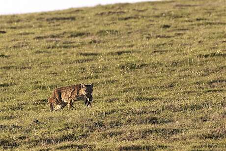 A bobcat walks off with a gopher after a successful hunt in the foothills of Point Reyes National Seashore