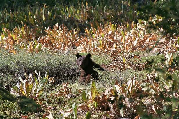 A bear merges in a clearing south of Squaw Valley in the the Sierra Nevada