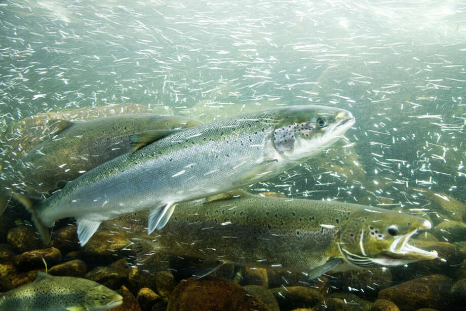 Connelly state greenlights 1 million more farmed salmon for Puget sound fishing