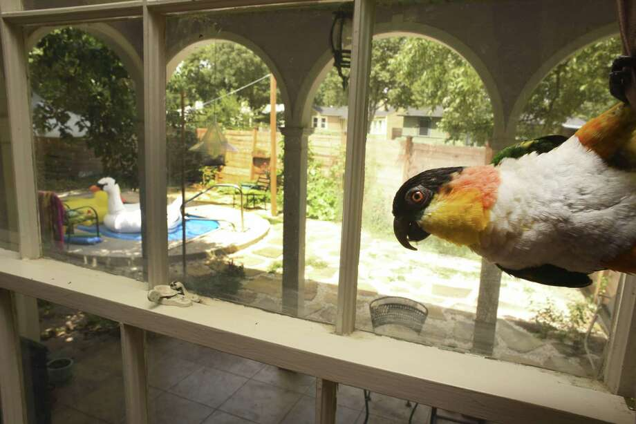 Siegfried, a 7-year-old Caique parrot, livens up the home of Margaret Craig. Craig installed the small pool in the yard last year. Photo: Billy Calzada /San Antonio Express-News / San Antonio Express-News