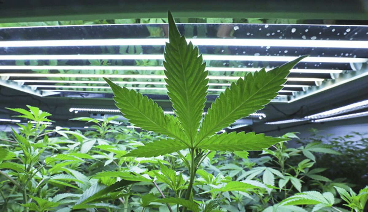 This June 5, 2017, photo shows a marijuana leaf in the vegetative room at Alaska Cannabis Cultivators in Fairbanks, Alaska. Voters in parts of Alaska will decide in local elections on Tuesday, Oct. 3, whether to ban commercial cannabis operations, including retail stores and cultivation facilities. (Eric Engman/Fairbanks Daily News-Miner via AP)