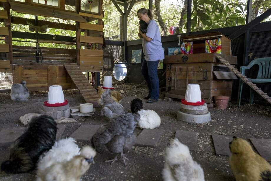 The Food Policy Council of San Antonio is organizing a Chicken Walk from 10 a.m. until 2 p.m. April 14. Participants will be able to tour about a half-dozen local homes that have extensive backyard chicken-raising setups. Photo: Express-News File Photo