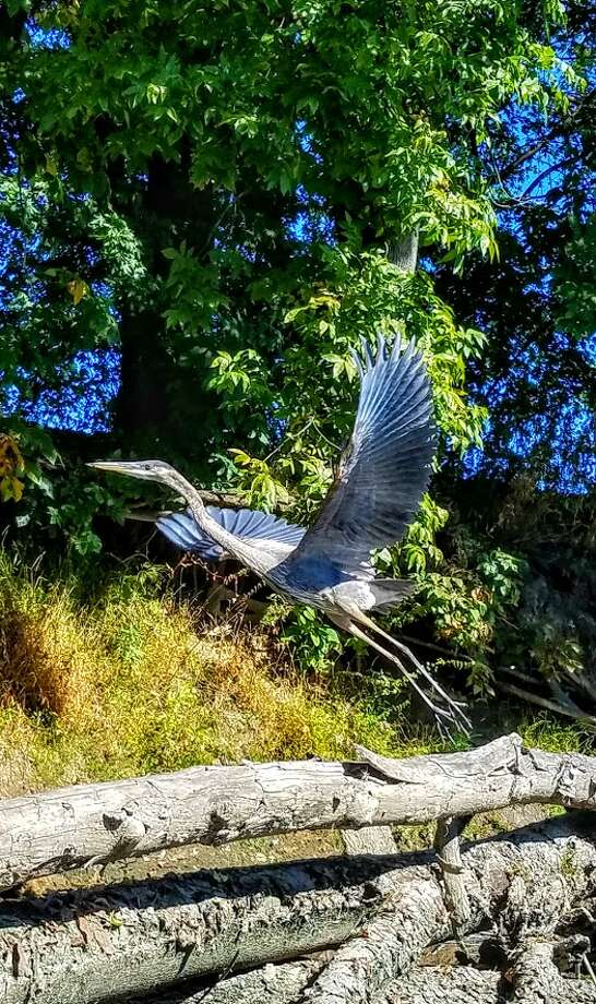 Eric Platt says he timed this just right: A magnificent blue heron taking flight on the Walkill River in New Paltz.