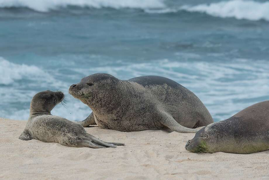 Hawaiian monk seal Niho`ole (left), a prematurely weaned pup, rescued on Laysan, returned there in good health. Photo: � NMFS / NOAA Permit 16632
