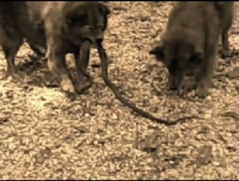 A still from a video Rigney took in 2010 of Angel fighting a snake. Photo: McKenzie Rigney