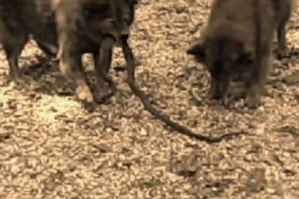 A still from a video Rigney took in 2010 of Angel fighting a snake.