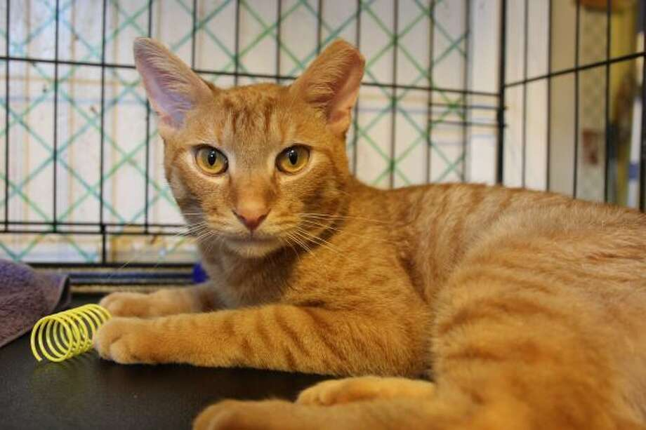 Laddie is a gem, with a matching personality and he's available for adoption at Mary's Kitty Korner. Call 860-379-4141/413-297-0537 or email marys.kitty.korner@sbcglobal.net Photo: Contributed Photo / Not For Resale