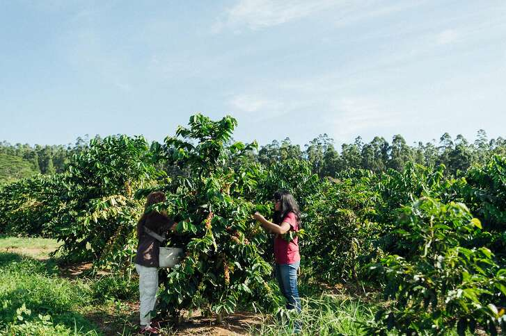 Lorie Obra, left, and Joan Obra, right, inspect coffee cherries on the trees at her family�s Ka�u coffee farm. Rusty�s Hawaiian Coffee is known for its natural processing.