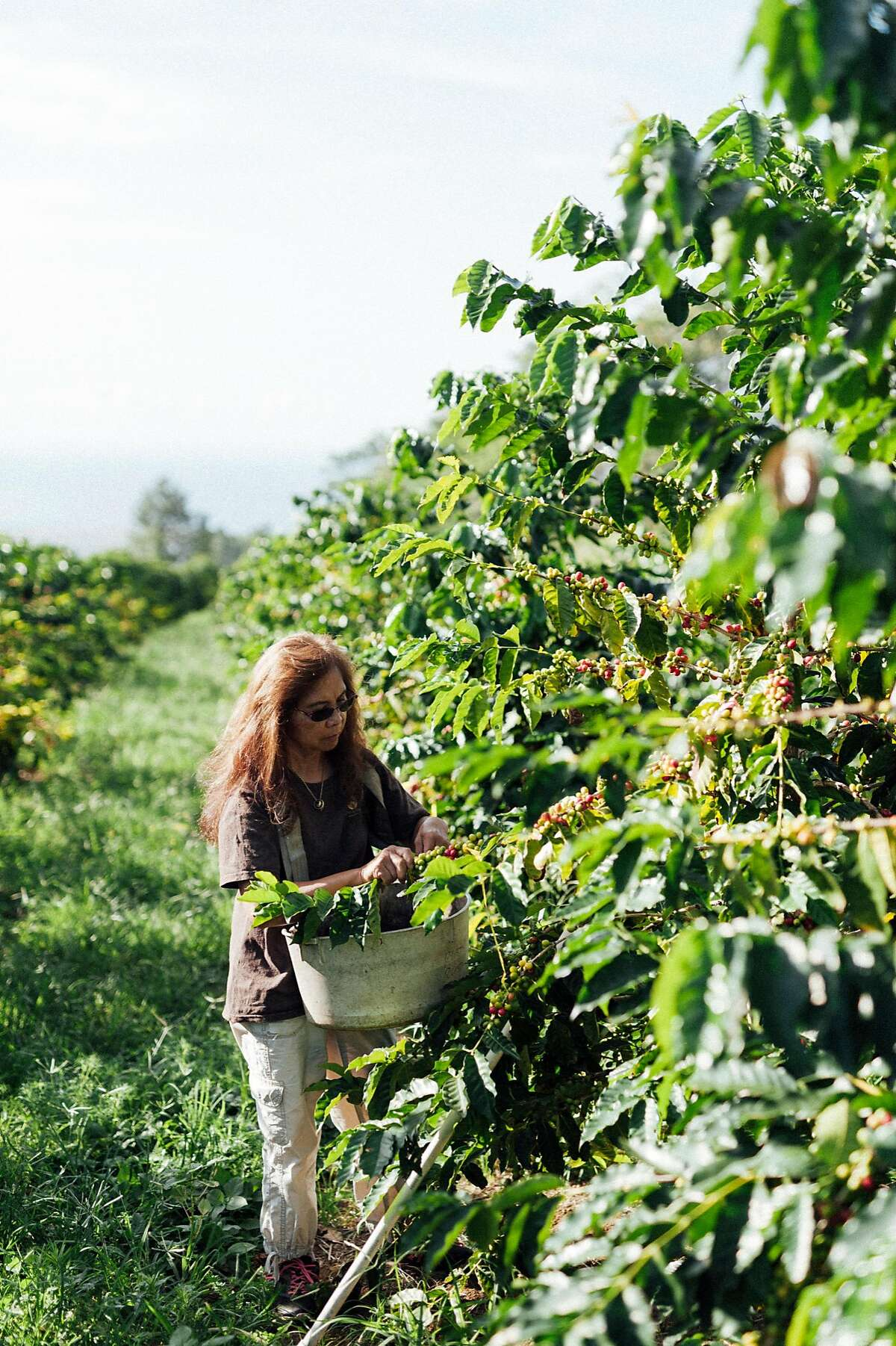 Lorie Obra hand picks coffee cherries on her Ka�u farm on the island of Hawai�i. Obra founded Rusty�s Hawaiian Coffee with her late husband. The brand is known for natural processing.