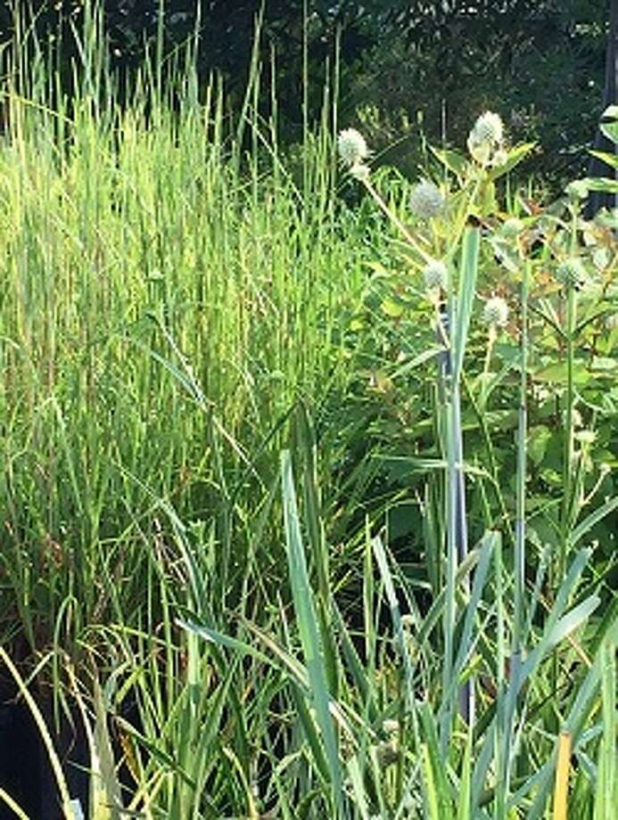 Native grasses will be for sale at the Fall MCMGA plant sale on Oct. 14.