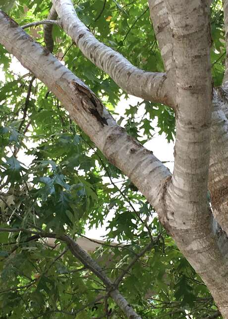 This oak tree has enough size to it that paying an expert to care for it would be easily justified. There may be some form of decay starting beneath the bark, perhaps from a twig that was removed but that didn't heal properly or from some type of mechanical injury. Photo: Courtesy Photo