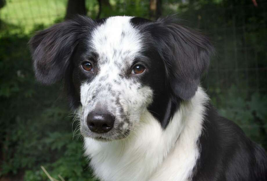 One-year-old border collie mix Tela was diagnosed with a serious heart problem and underwent surgery at Tufts University in Massachusetts Thursday. The medical bills will run in the thousands of dollars. A fundraiser is planned for July 11. Photo: Contributed Photo / The News-Times Contributed