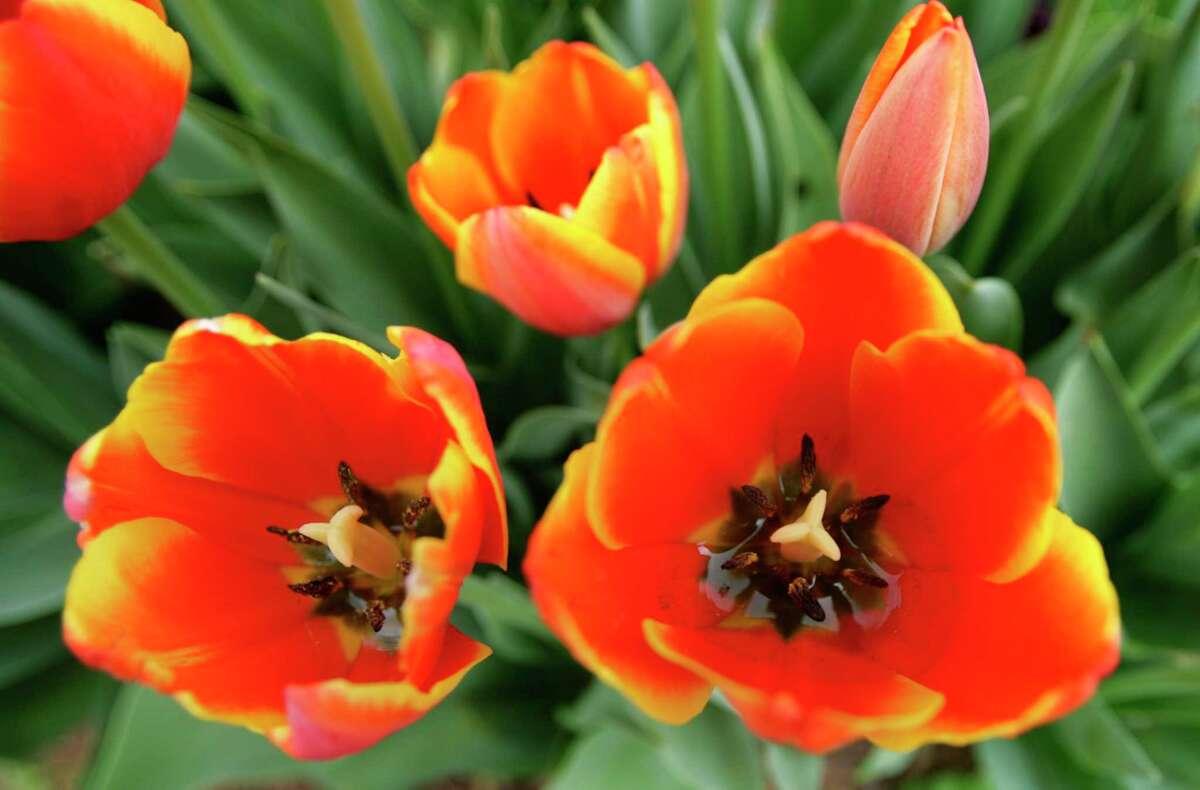 Tulips inTerry Gordon Smith's Houston garden.