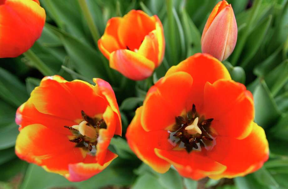 Tulips inTerry Gordon Smith's Houston garden. Photo: Cody Duty, Staff / Houston Chronicle