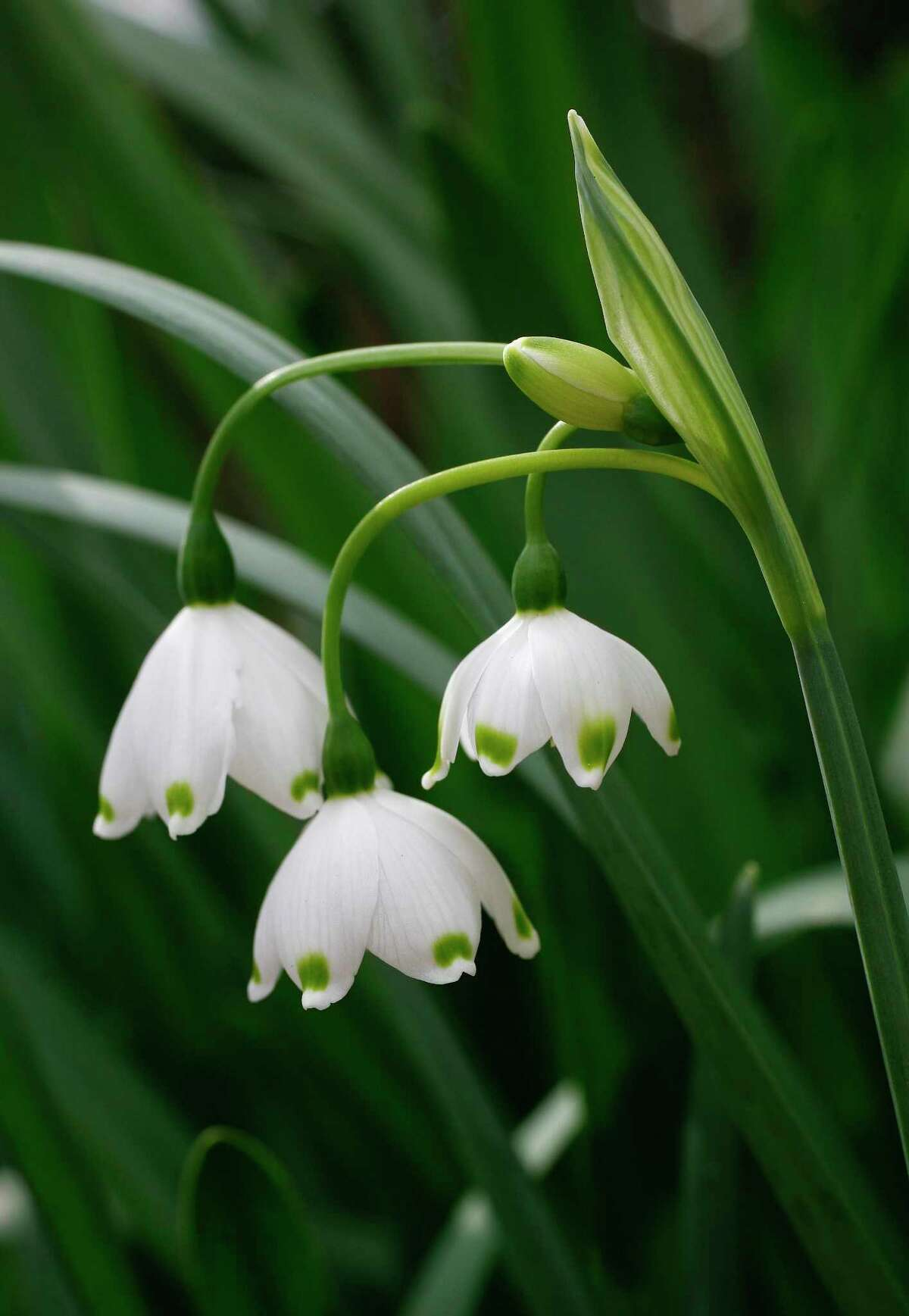 Leucojum aestevum, or snowflake, is an heirloom bulb that will be for sale at the Garden Club of Houston's Plant and Bulb Mart.
