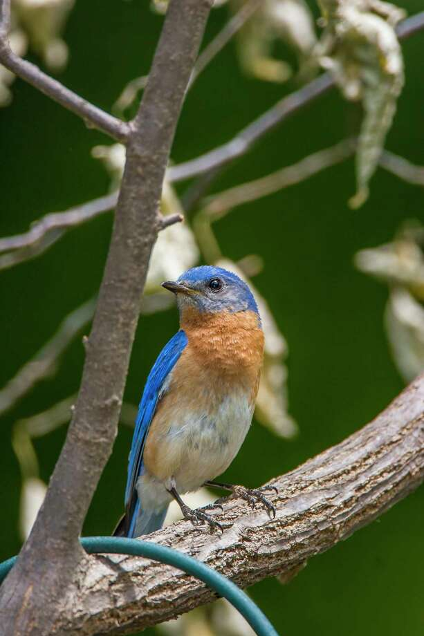 Resident songbirds, like eastern bluebirds, are wandering this fall in a behavior called post-breeding dispersal. Photo: Kathy_Adams_Clark / Kathy Adams Clark/KAC Productions