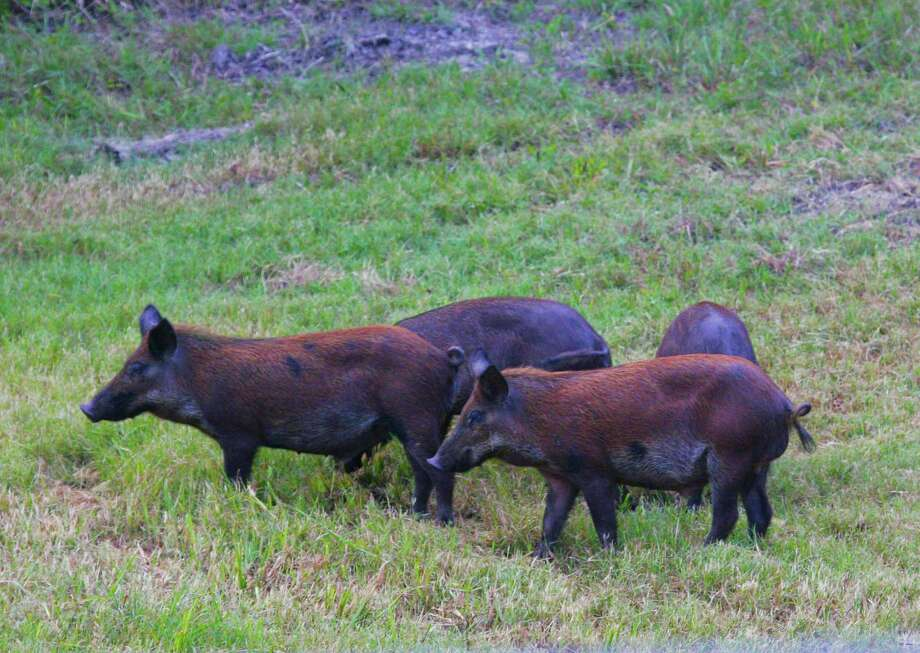 Guadalupe County officials voted to put a bounty on feral hogs in an effort to eliminate 2,000 hogs in the county.   Photo: Shannon Tompkins /Houston Chronicle
