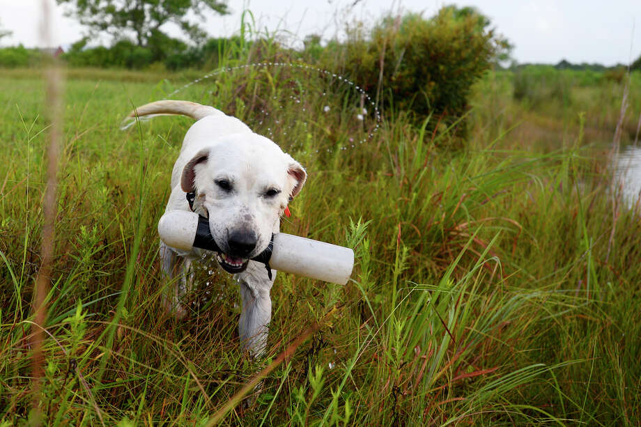 Hoot, a British lab, returns a dummy duck during training in Winnie, Monday, Aug. 7, 2017. Dogs in Brian Johnson's basic retriever program train for about five months learning to become duck hunting dogs.  Photo taken Monday 8/7/17 Ryan Pelham/The Enterprise Photo: Ryan Pelham / ©2017 The Beaumont Enterprise/Ryan Pelham
