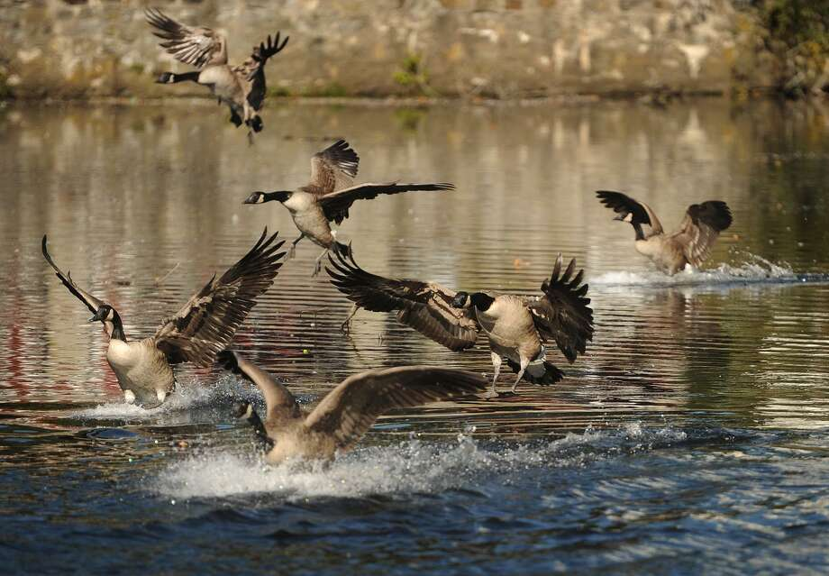 A flock of Canada geese land on the duck pond behind City Hall in Milford, Conn. on Thursday, October 5, 2017. The city recently received approval to begin dredging the series of duck ponds on the Wepawaug River that runs through the downtown. Photo: Brian A. Pounds / Hearst Connecticut Media / Connecticut Post