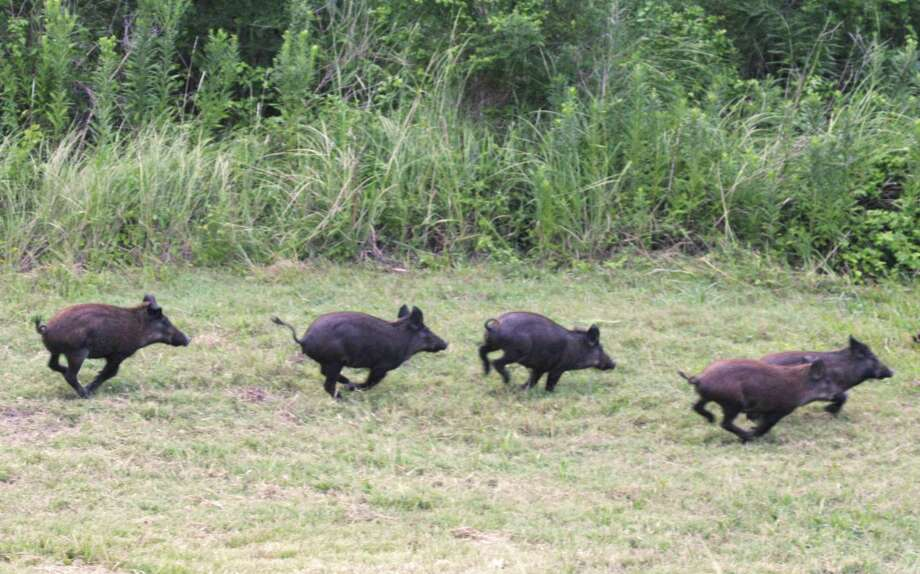 Though it's now legal to shoot feral hogs from balloons in Texas, by the first week in October, more than a month after the law went into effect,  no balloon companies had asked for permits for such events. Photo: Shannon Tompkins