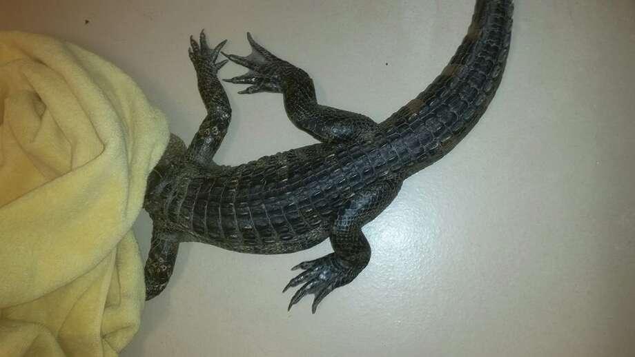 An escaped alligator was found in a Petaluma couple's backyard Thursday night. Photo: Petaluma Animal Services