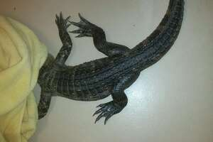 An escaped alligator was found in a Petaluma couple's backyard Thursday night.
