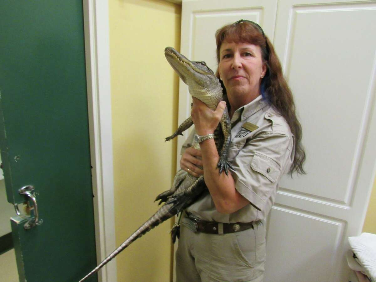 An escaped alligator was found in a Petaluma couple's backyard Thursday night.