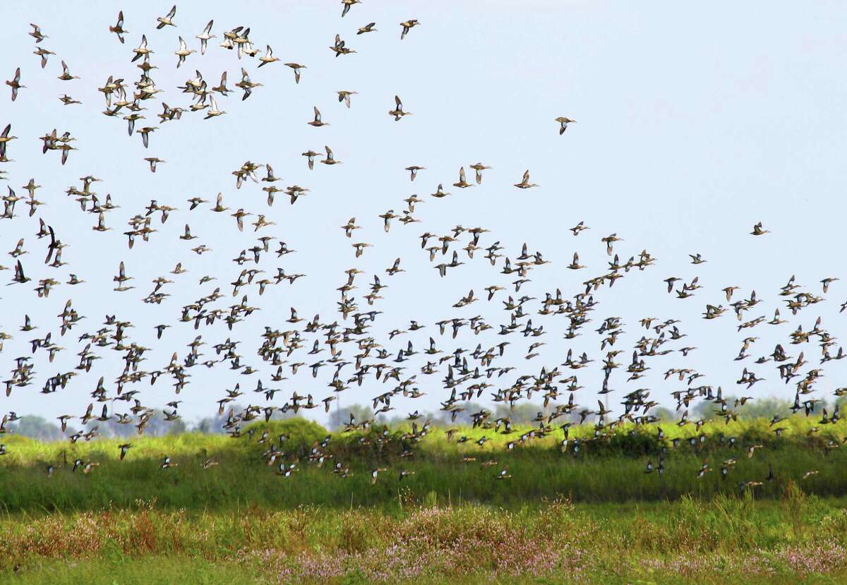 Blue-winged teal arriving on Texas' coast are finding marshes and prairies awash with wetlands, a result of record-setting rains and flooding from Hurricane Harvey.