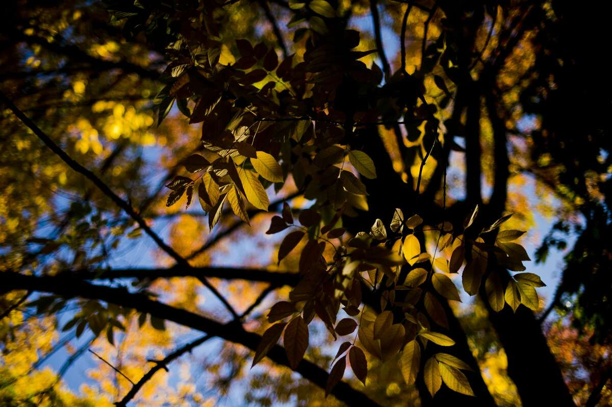 Brightly colored leaves are illuminated by sunlight on Nakoma Drive on Monday. (Katy Kildee/kkildee@mdn.net)