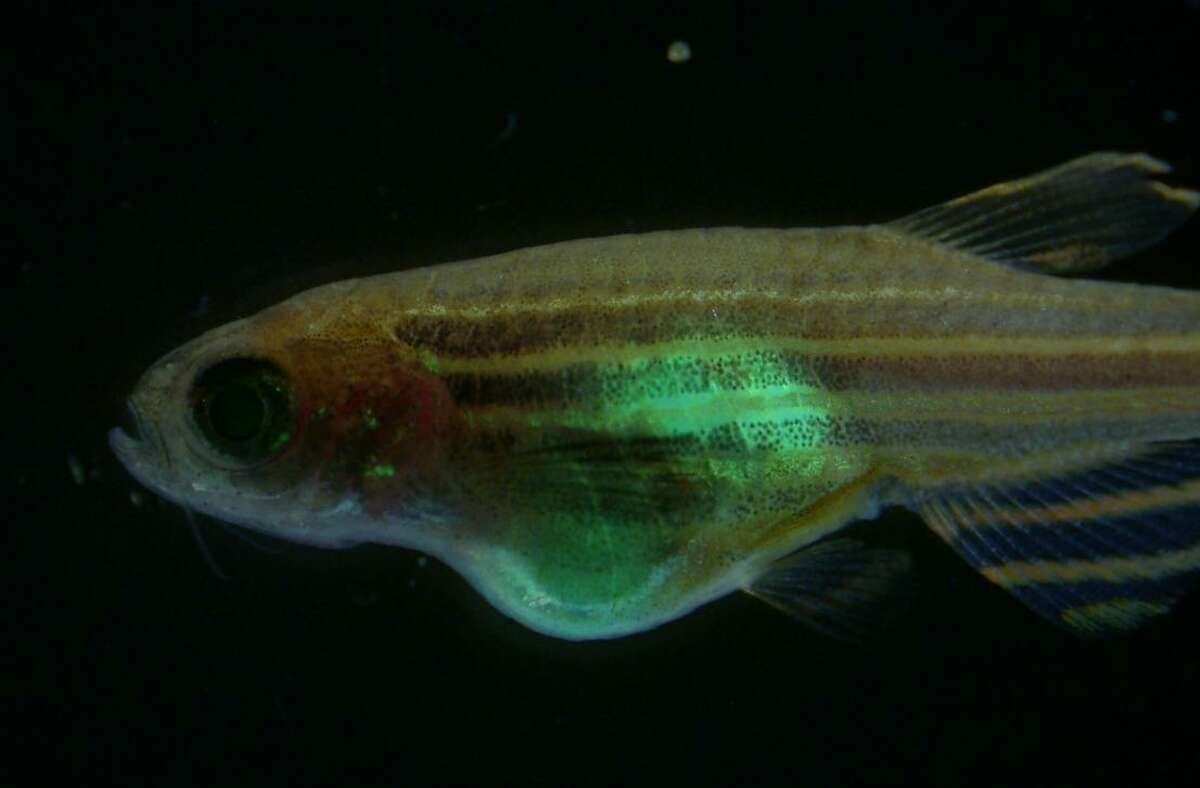 This is an example of a tumor with the fluorescent colors showing the development of the tumors in a zebra fish.