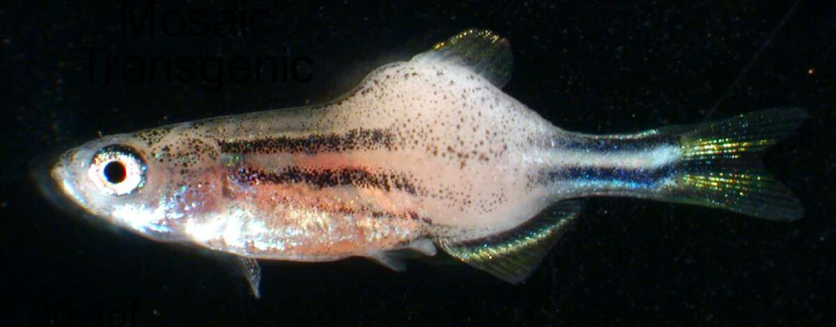 This is an example of a zebra fish with rhabdomyosarcoma (muscle tumor).