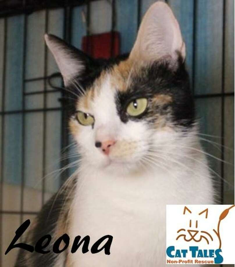Leona, who just had kittens, will be ready to be adopted later in October. Photo: Contributed Photo / Not For Resale