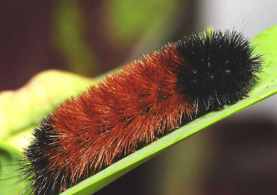A woolly bear caterpillar Photo: Contributed Photo / The News-Times Contributed