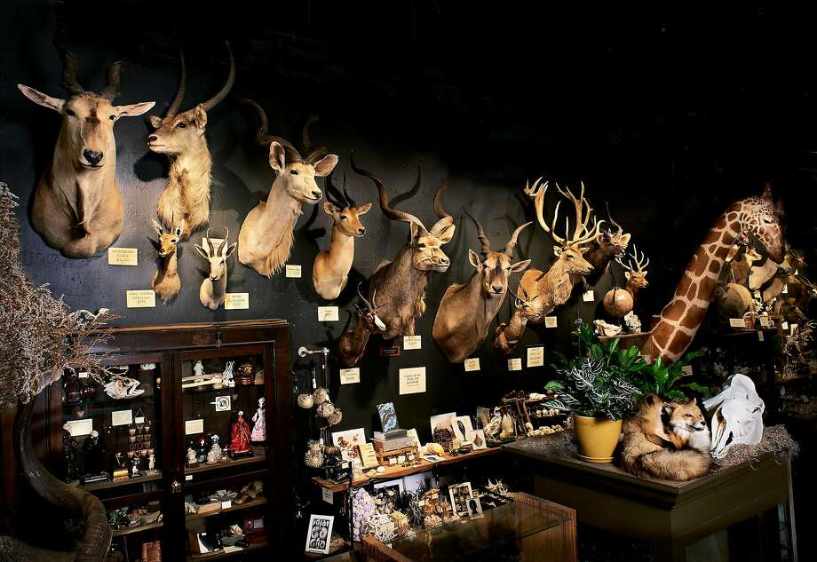 Paxton Gate celebrates its 25th anniversary this year. In the new location, Sean Quigley was able to deepen his passion for taxidermy, fossils and skulls and expand the business. Photo: Paxton Gate