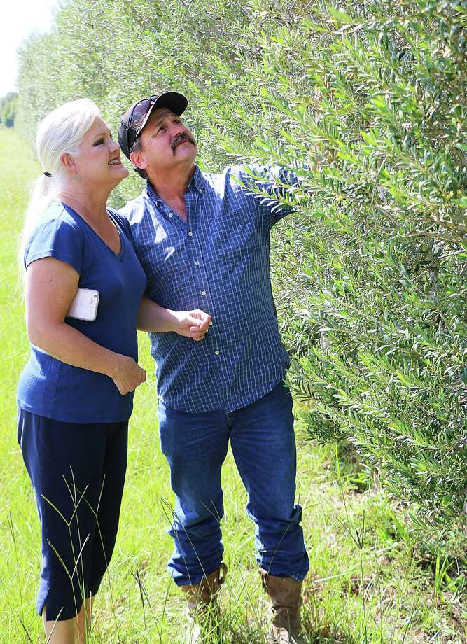 Randy Brazil and his wife Monica take a look at the leaves and branches on the olive trees in their orchard. There will be no fruit on the trees this year because of Hurricane Harvey. Photo: David Taylor