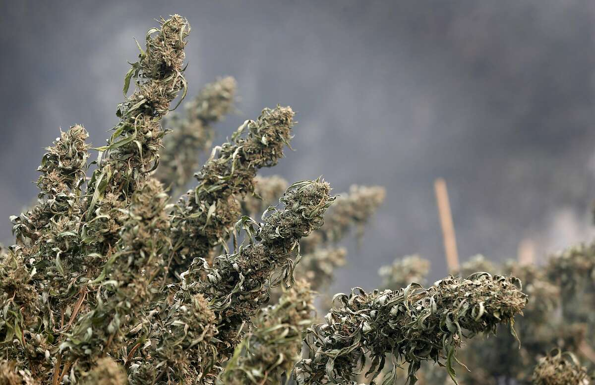 Mature marijuana plants are discovered singed at a home destroyed by fire on Tomki Road in Redwood Valley, Calif. on Tuesday Oct. 10, 2017. Authorities have reported at least three people have died and 50 residences have been destroyed by the Redwood Complex Fire.