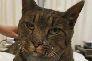 FOUND CAT 10/9/17: Stray Neutered Male Tabby with white chest. No collar. This sweet cat was found under a car in the Sutter Santa Rosa Hospital lot. He is currently safe at Sonoma Humane Society 707-542-0882. Please spread the word.