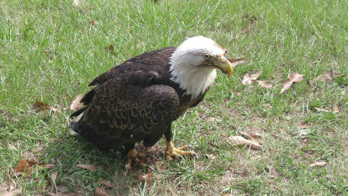 A bald eagle found injured in The Woodlands on Monday was euthanized due to the extent of its injuries. Experts believe the eagle was at some point hit by a car.