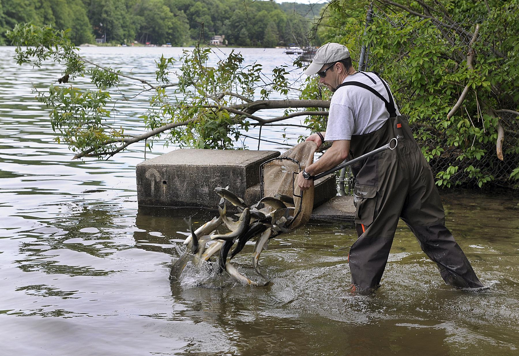 Milfoil Problem Better In Candlewood And Squantz But