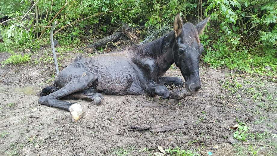 Montgomery County authorities are investigating after the colt pictured here was allegedly starved to death, along with its mother, in Porter in September 2017.  Photo: Montgomery County Sheriff's Office