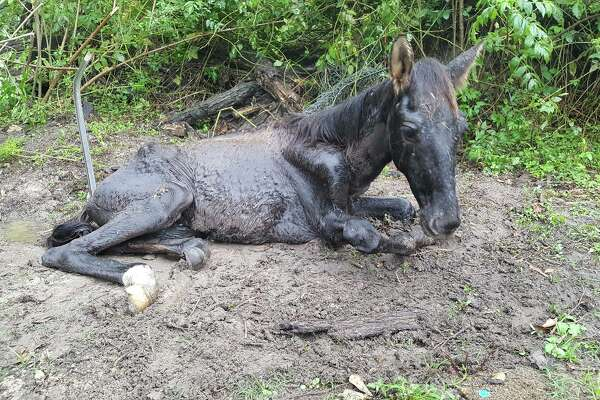 Montgomery County authorities are investigating after the colt pictured here was allegedly starved to death, along with its mother, in Porter in September 2017.
