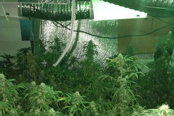 Hundreds of marijuana plants were seized in a drug bust of four homes in Fort Bend and Harris counties on Sept. 28, 2017.