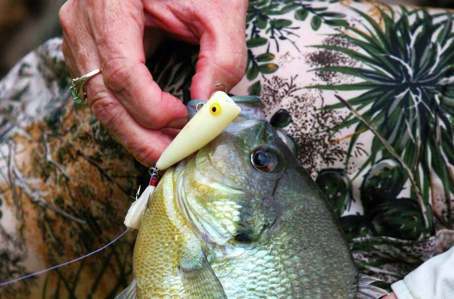 Texas' popular Angler Recognition Program gives anglers who land particularly large representatives of any fish species, such as this outsize redbreast sunfish, to apply to have their fish recognized as a record for the body of water from which it was caught. Photo: Shannon Tompkins /Houston Chronicle